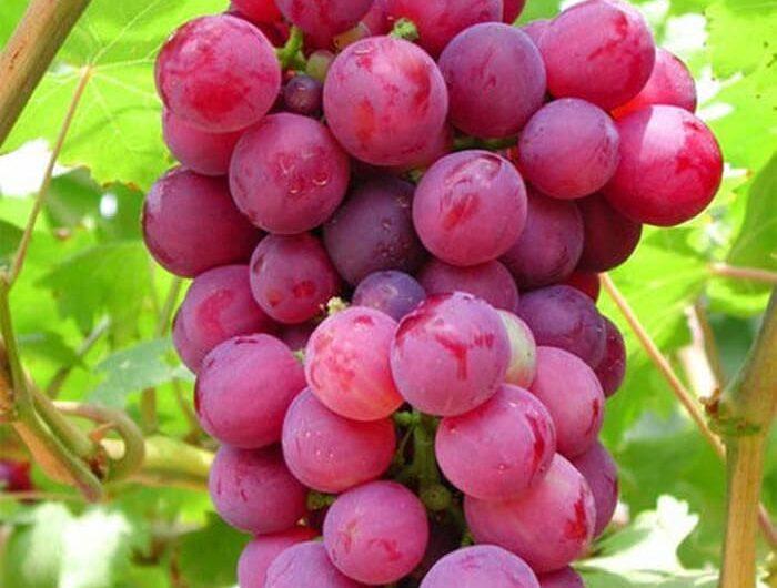 Manfaat Yang Terkandung Dalam Buah Anggur